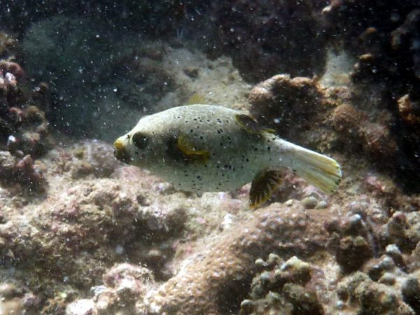 Sealface Pufferfish